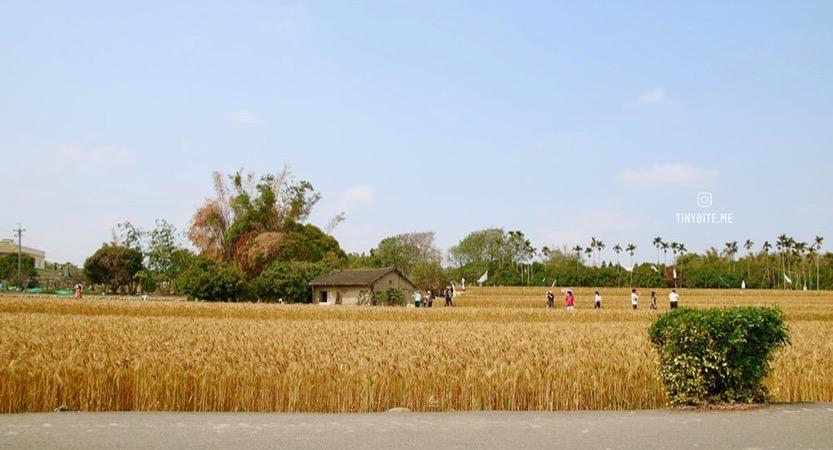 [台中景點] 大雅小麥田 | 2020年小麥節相關活動已因疫情取消 期待明年能順利進行